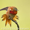 Rufous Hummingbird stretch
